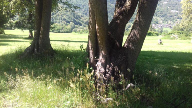 mamma albero